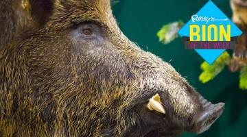 radioactive boar