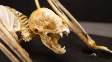 vampire bats skeleton