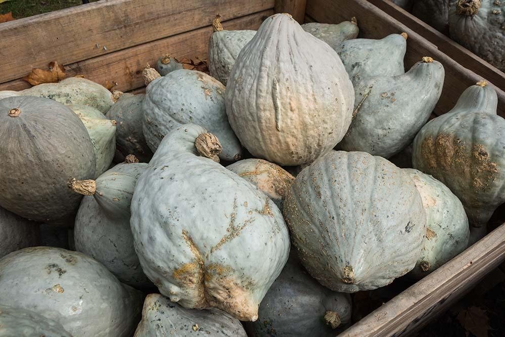 hubbard squash pumpkin pie filling