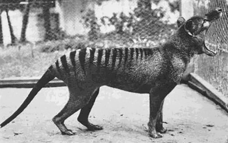 last tasmanian tiger