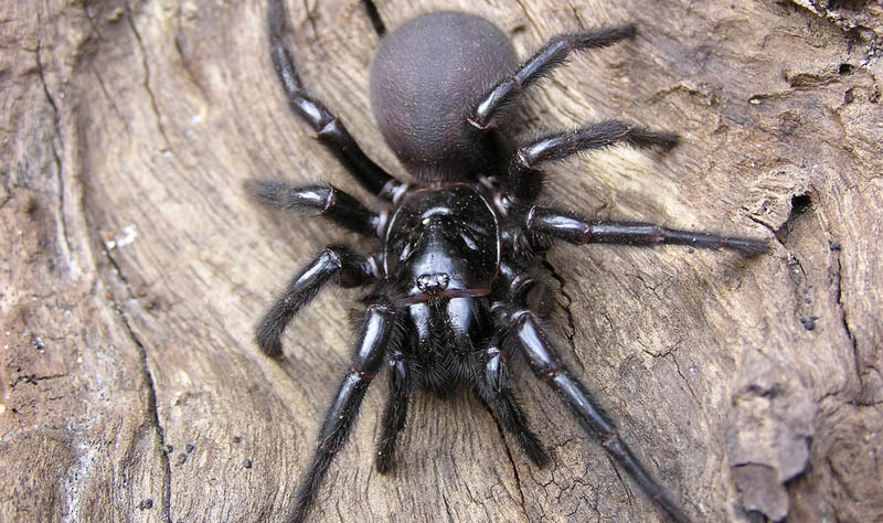 most poisonous spider