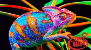 fake colored chameleons