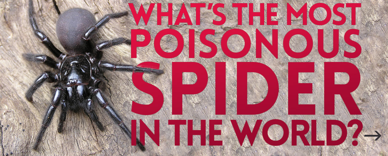 whats the most poisonous spider in the world