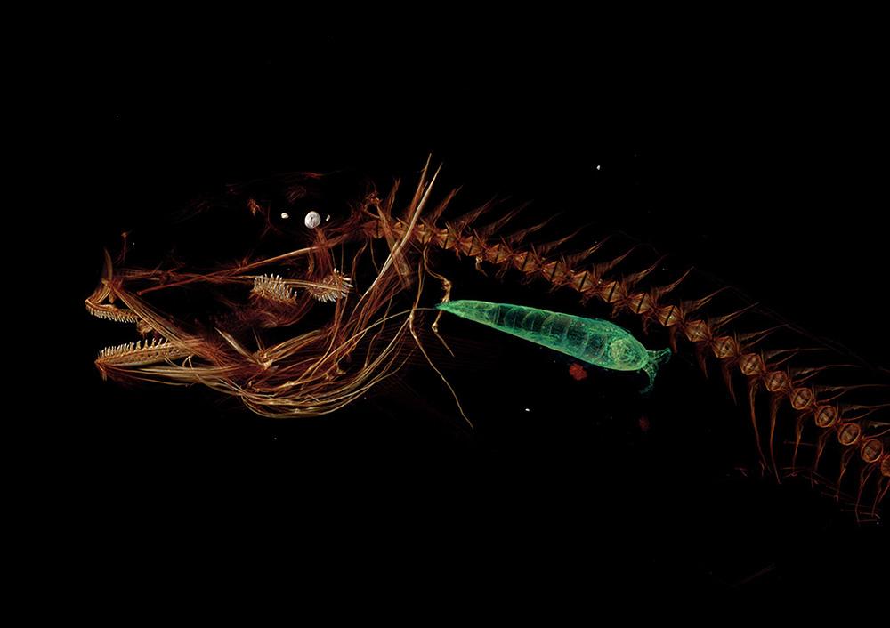 deepest fish mariana snailfish