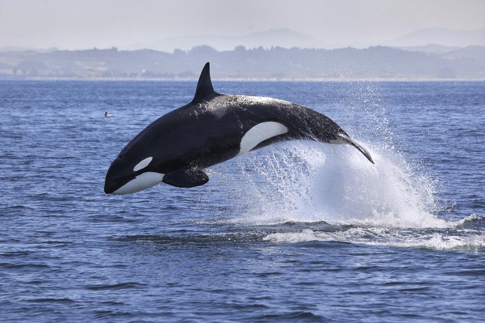 Rock Island Orcas Swimming