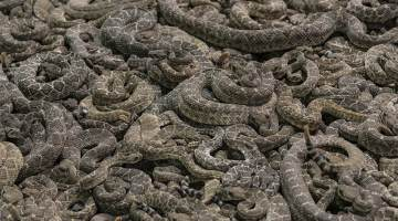 rattlesnake roundup