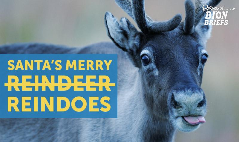 female reindeer