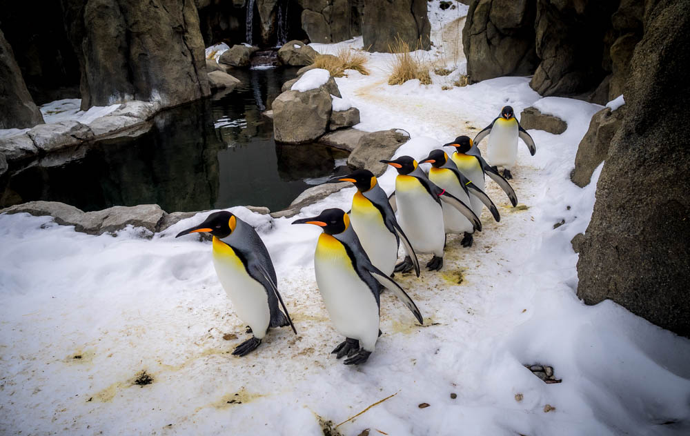 king penguins calgary zoo