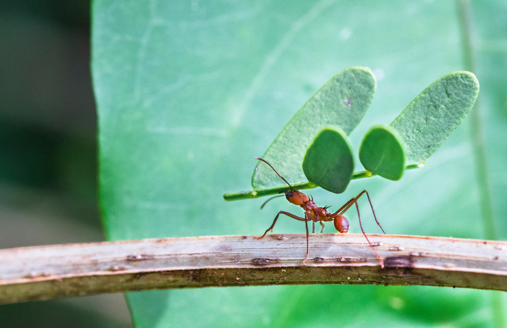 leaf cutter ant