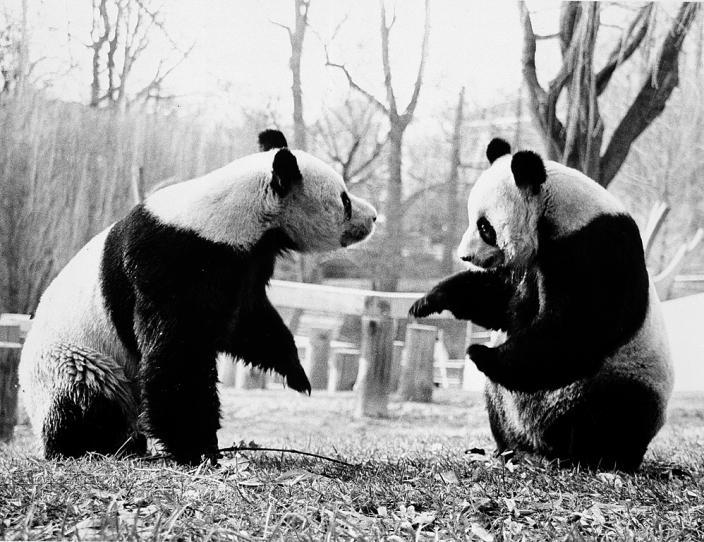 nixon pandas