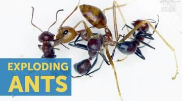Exploding Ant Species