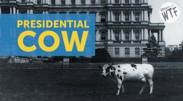 presidential cow taft pauline wayne