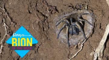 oldest-spider