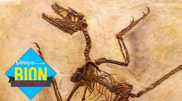 microraptor skeleton