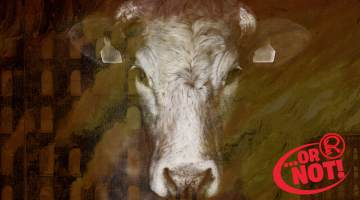 o'leary chicago fire cow
