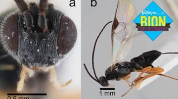 xenomorph wasp