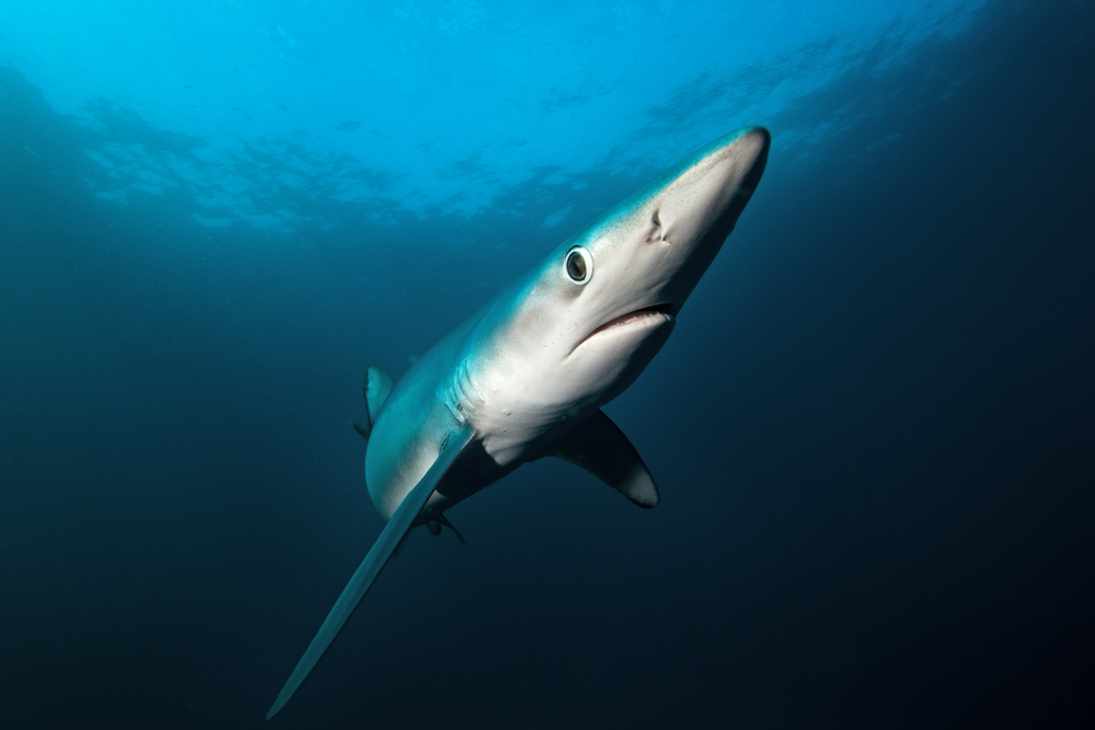 blue shark nostrils