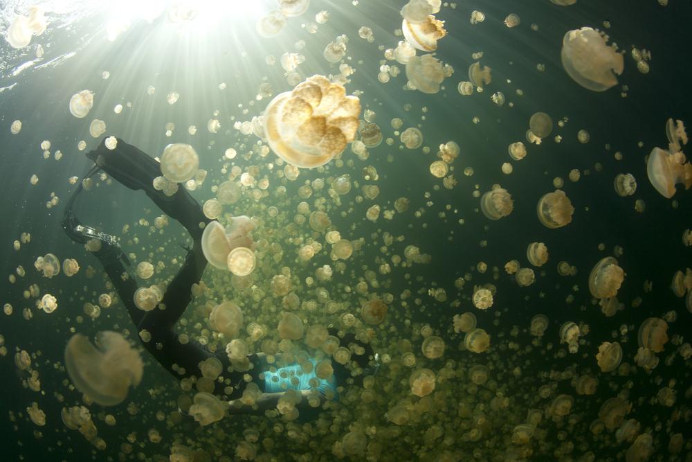 jellyfish lake diver