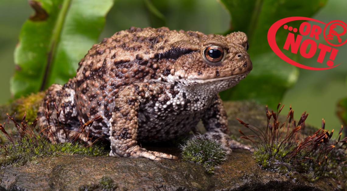 toads cause warts