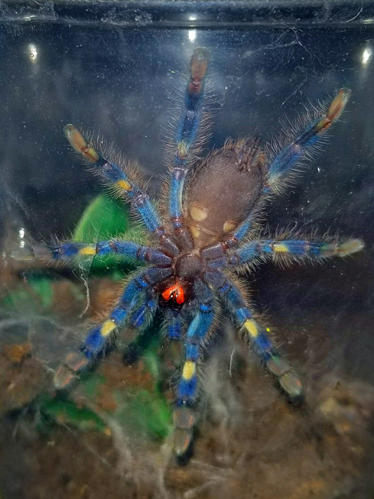 gooty sapphire tarantula