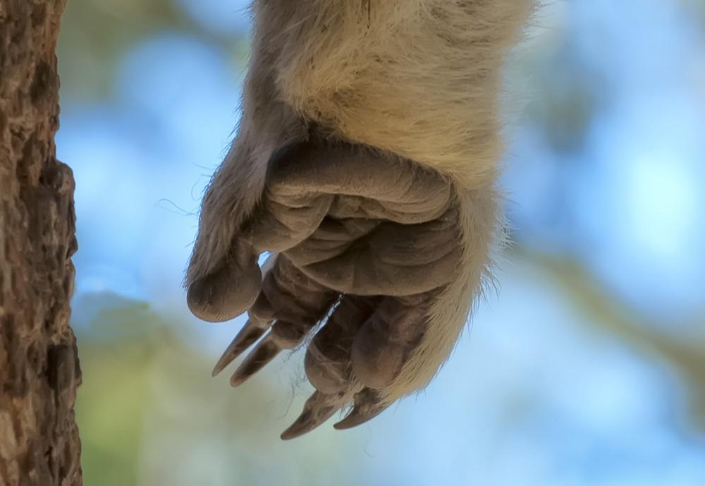 koala paw