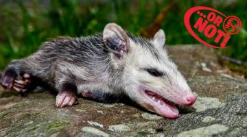 possum plays dead