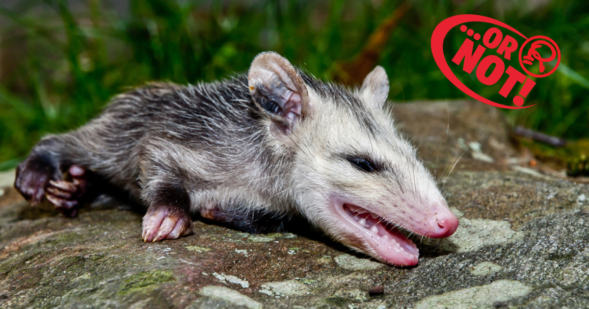 Playing Dead Is, In Fact, Not An Act For Possums