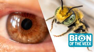 bees living in eye