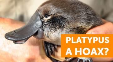 platypus hoax