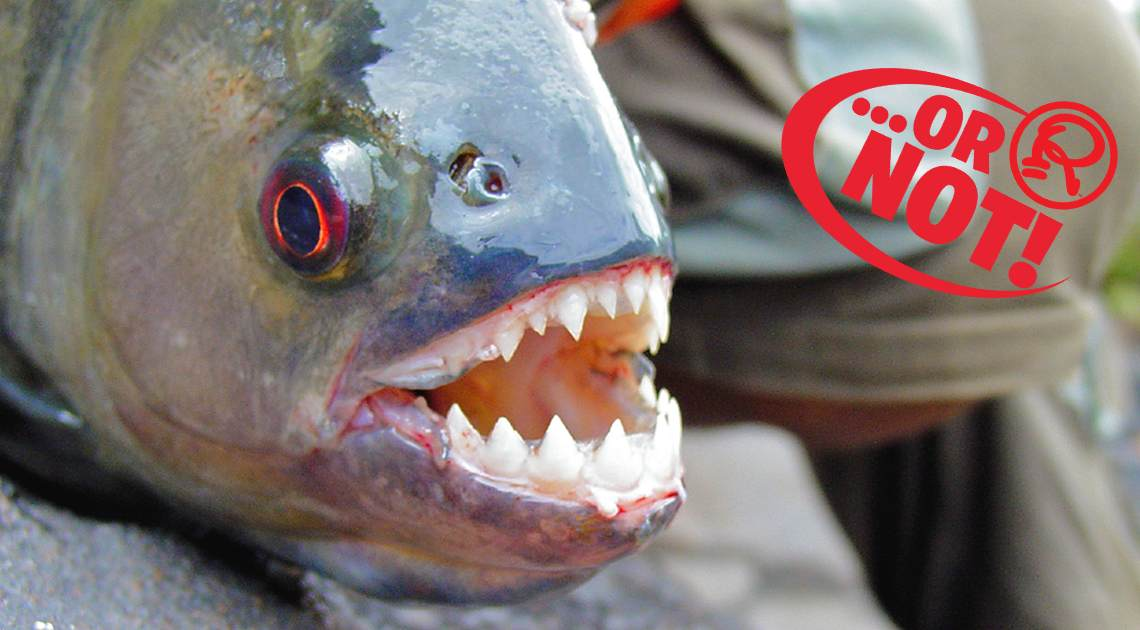 Wait, There Are Vegetarian Piranhas?