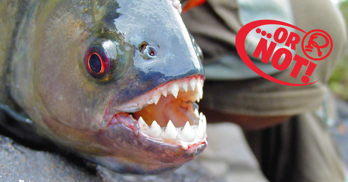 vegetarian piranhas