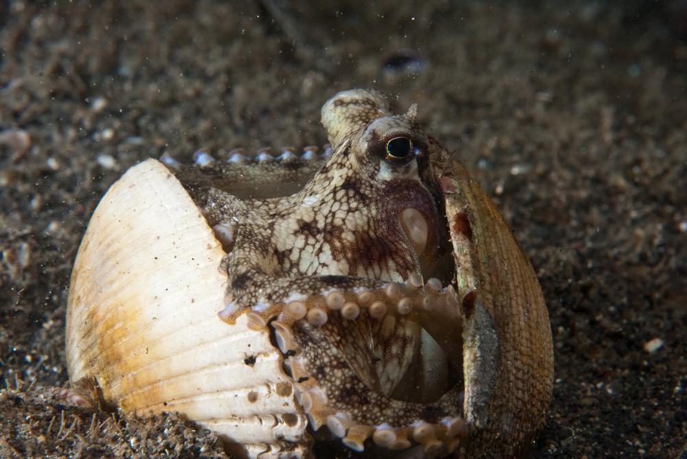 ocotpus clam shells