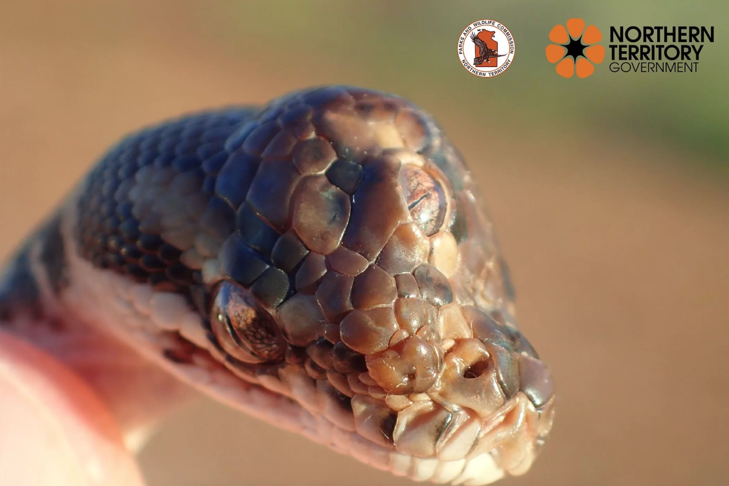 three-eyes snake