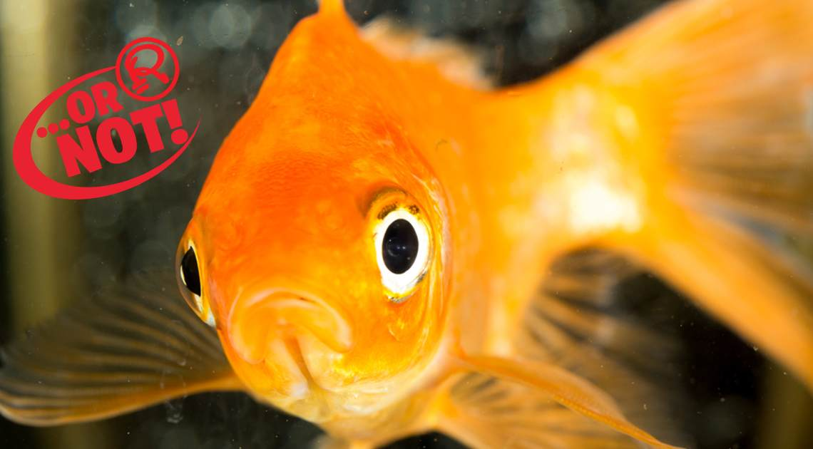 goldfish's memory