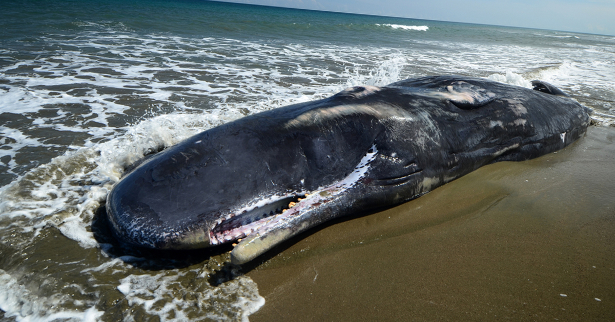 rotting whale