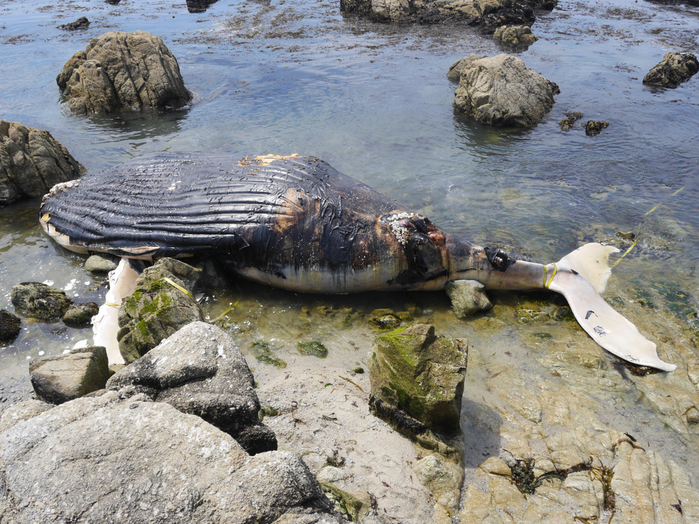 rotting whale carcass