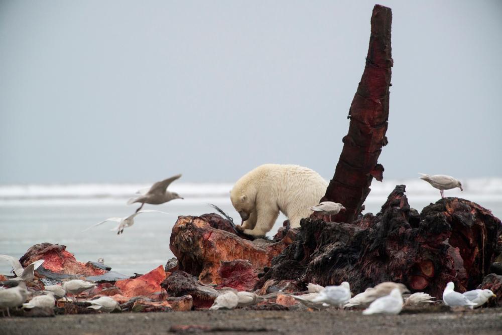 whale carcass eaten by polar bear and birds