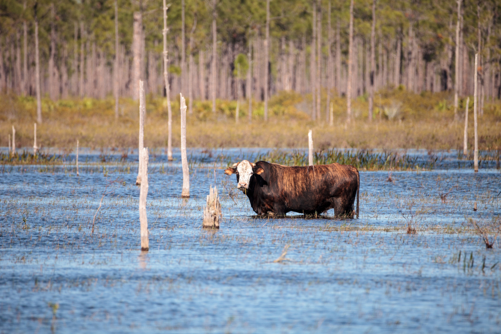 louisiana cattle