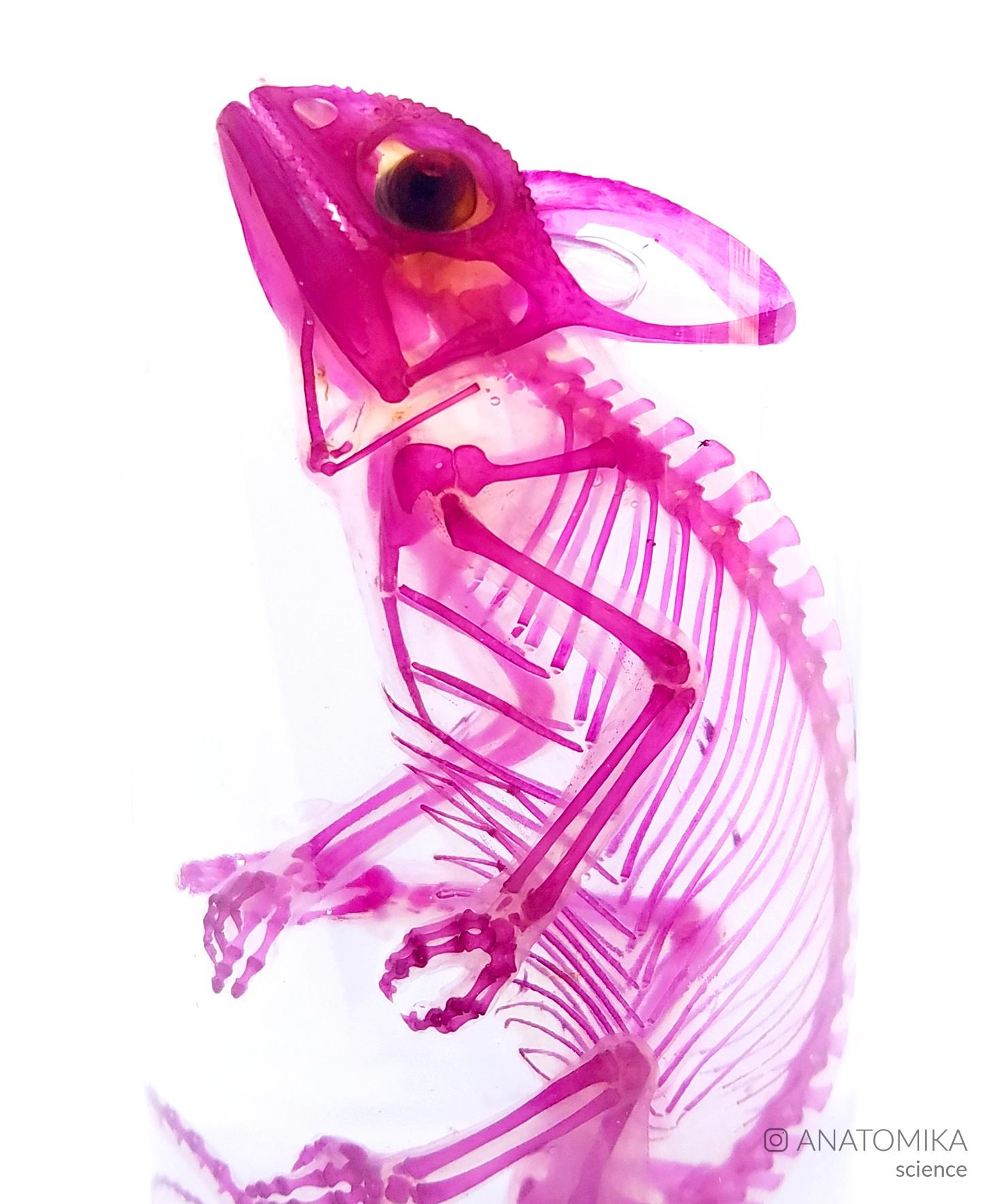 diaphonized chameleon
