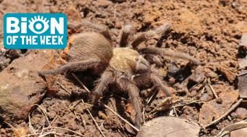 tarantula migraiton