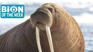 walrus sinks boat