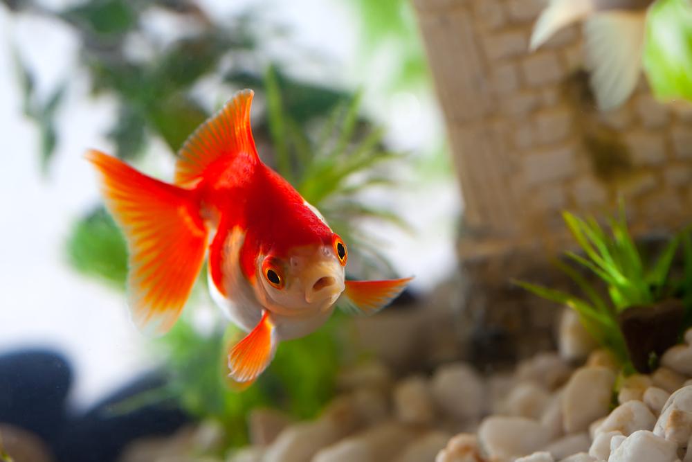 goldfish tariff
