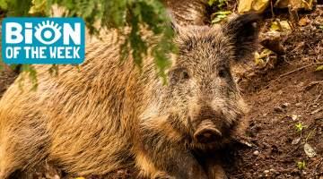 drug-sniffing boar