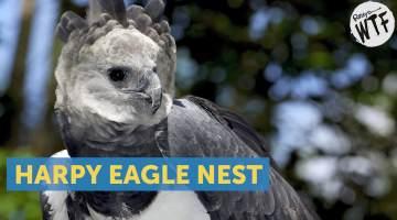 harpy eagle nest