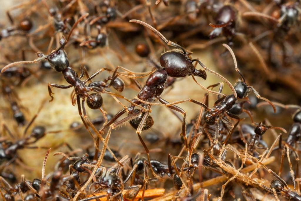 ant sutures