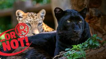 Black panther and leopard