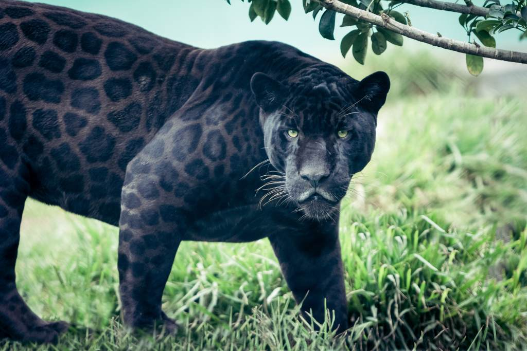 Melanistic Black Panther