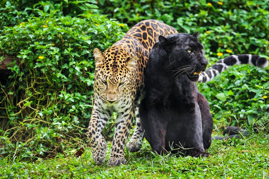 Melanistic Black Panther and Leopard