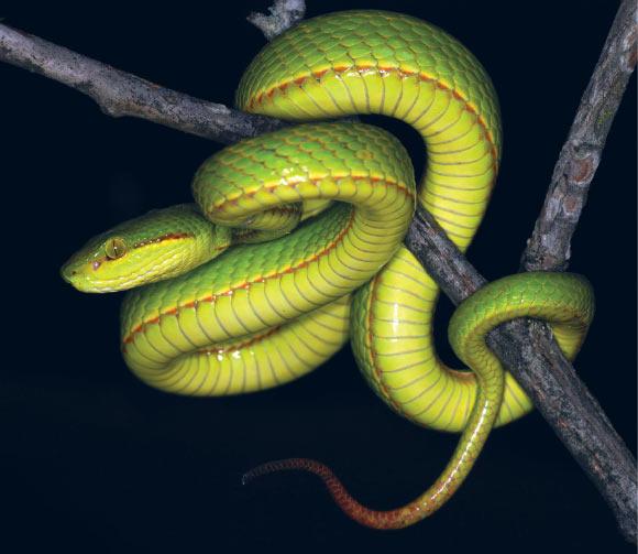 A new species of green pit viper.
