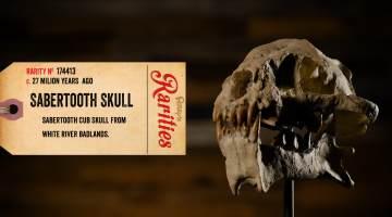 sabertooth tiger cub skull
